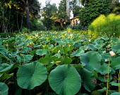 Pond with Lotus flowers at Lotusland in Montecito, CA