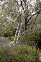 Ladder in olive tree, lavender, agapanthus