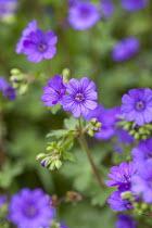 Geranium pyrenaicum 'Bill Wallis'