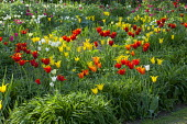 Tulipa 'West Point' and 'Queen of Sheba'
