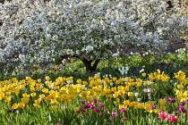 Malus floribunda, Tulipa 'Golden Parade' and 'Attila'