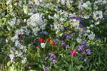 Malus floribunda, honesty and tulips
