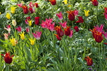 Tulipa 'West Point', 'Captain Fryatt' and 'Queen of Sheba'