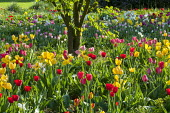 Tulipa 'Arie Hoek', 'Golden Parade' and 'Don Quichotte'