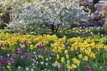 Malus floribunda, Tulipa 'Golden Parade', 'Meissner Porzellan' and 'Attila'