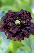 Papaver somniferum 'Black Peony' (Paeoniiflorum Group)