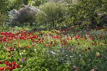 Malus floribunda, red tulips