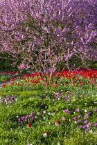 Cercis siliquastrum underplanted with tulips including Tulipa 'Parade'