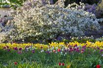 Malus floribunda, Tulipa 'Golden Parade'