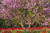 Cercis siliquastrum underplanted with Tulipa 'Parade'