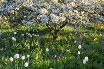 Malus floribunda, Tulipa 'White Dream'