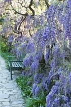 Wisteria sinensis, bench