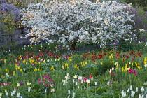Malus floribunda, naturalised tulip meadow