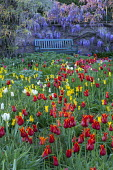 View across tulip meadow to bench, Wisteria sinensis