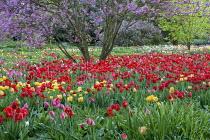 Cercis siliquastrum, Tulipa 'Parade'