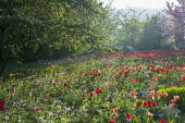 View over naturalised tulip meadow