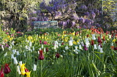 Bench, Wisteria sinensis, naturalised tulip meadow