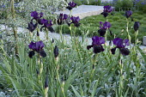 Iris germanica 'Superstition', Sesleria nitida, Stachys byzantina 'Silver Carpet'
