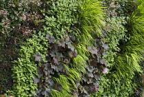 Living green vertical wall, Heuchera 'Mahogony', Hakonechloa macra