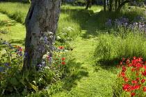 Mown grass paths, apple trees, Tulipa sprengeri, Cow parsley, Aquilegia vulgaris