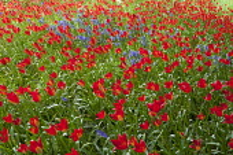 Naturalised Tulipa sprengeri and bluebells in meadow