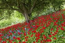Naturalised Tulipa sprengeri under tree
