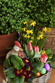 Chicken ornament in basket of primroses, tulips and daffodils, Easter eggs, clipped box in containers