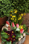 Hen ornament in basket of primroses, tulips and daffodils, eggs, clipped box in containers