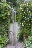 Metal gate, Rosa 'Madame Alfred Carrière'