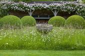 Wildflower meadow with antique font, rambling Rosa 'Francis E Lester' on oak pergola, large clipped topiary domes