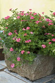 Pelargonium in stone trough against yellow wall