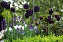 Tulipa 'Queen of Night'