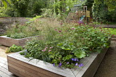 Raised timber bed, Deschampsia cespitosa 'Bronzeschleier', Echinacea purpurea 'Rubinstern' and Persicaria amplexicaulis 'Firetail', Darmera peltata, Geranium 'Rozanne'