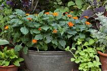 Tithonia rotundifolia 'Fiesta del Sol', syn. Tithonia speciosa in metal container
