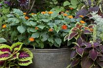 Tithonia rotundifolia 'Fiesta del Sol', syn. Tithonia speciosa in metal container, Coleus 'Kong Mosaic', Coleus 'Rainbow Mix'