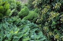 Box topiary dog, hostas, ferns, Hydrangea anomala subsp. petiolaris