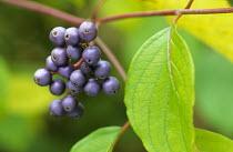 Cornus amomeum berries, syn. Swida amomum
