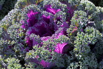 Ornamental cabbage 'Maribor'