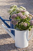 Hylotelephium telephium 'Indian Chief' and Sedum spectabile 'Iceberg' planted in blue and white watering cans syn. sedum