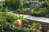 Vegetable beds with Cucurbita maxima 'Atlantic Giant', view to bench, Rosa 'Sally Holmes'