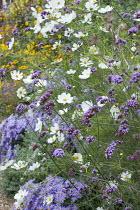 Aster amellus 'Veilchenkönigin' syn. Aster 'Violet Queen', Verbena bonariensis and Cosmos bipinnatus in border