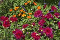 Dahlia 'Hillcrest Royal', Tithonia rotundifolia 'Torch'