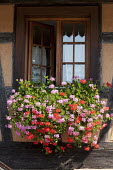 Pink and red pelargoniums in window box