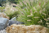 Pennisetum in rock garden