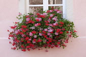 Colourful pelargoniums in window box