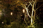 Electric Starliter copper lanterns in amelanchier, Verbena bonariensis