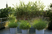 Roof terrace, lavender and hostas in dollytub containers, birch trees