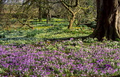 Carpet of naturalised crocus and snowdrops under trees
