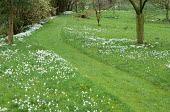 Mown path through grass, naturalised Galanthus nivalis and crocus in lawn