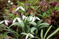 Galanthus elwesii, hellebores